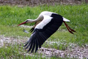 Storch am Kiebitz